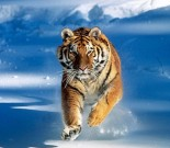 tiger-running-snow